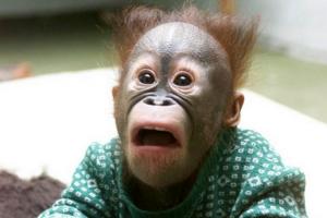 チンパンジーの赤ちゃん